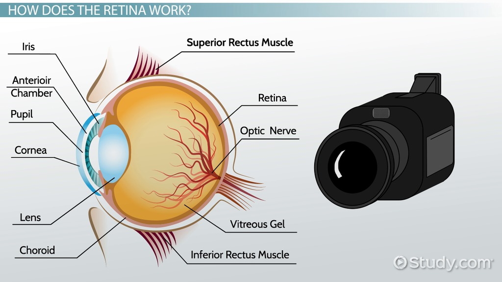 Retina: Definition & Function - Video & Lesson Transcript | Study.com
