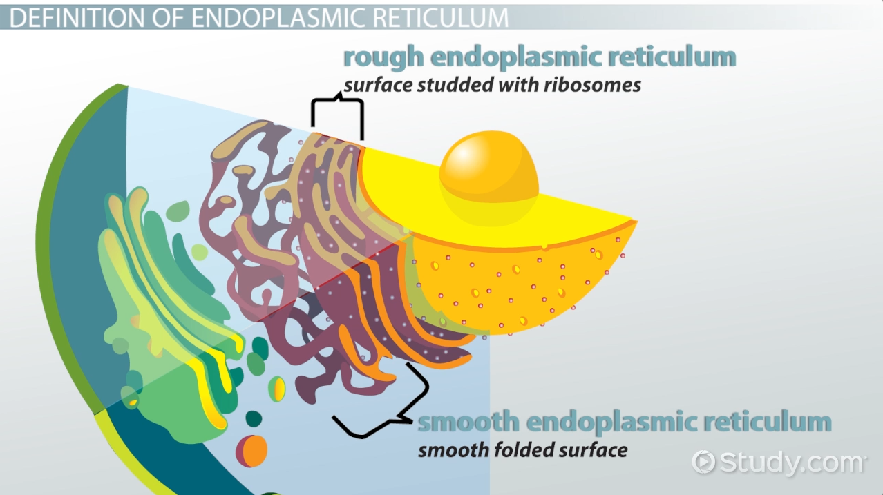 Endoplasmic Reticulum: Definition & Functions - Video & Lesson ...