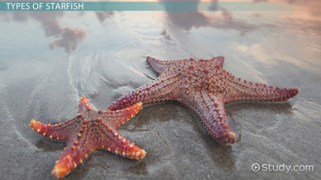 Starfish Types Characteristics Anatomy Video Lesson