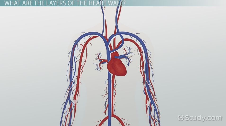 The Three Layers of the Heart Wall - Video & Lesson Transcript ...