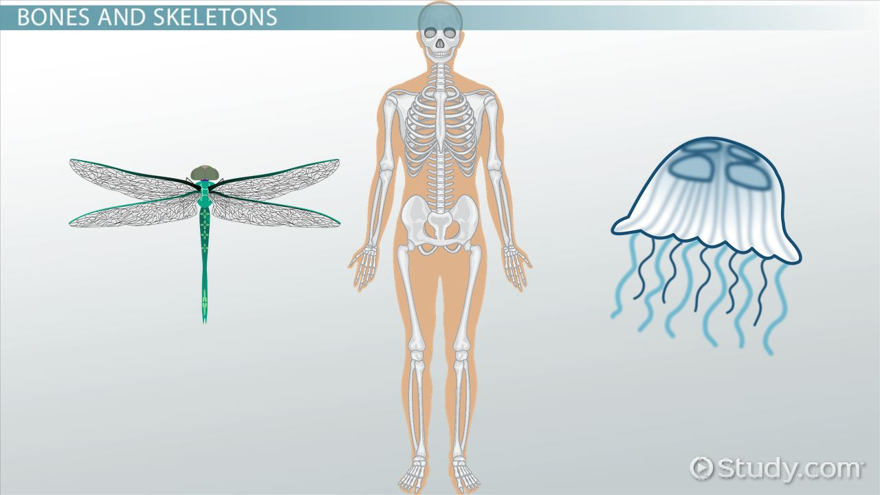 Hydrostatic Skeletons Exoskeletons Endoskeletons Video Lesson