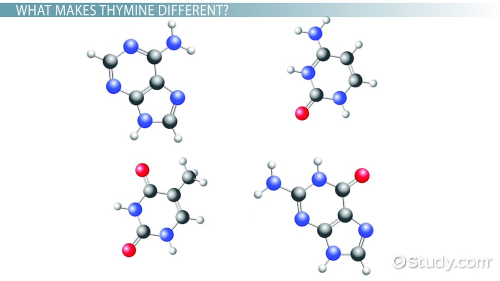 Thymine Structure Amp Definition Video Amp Lesson