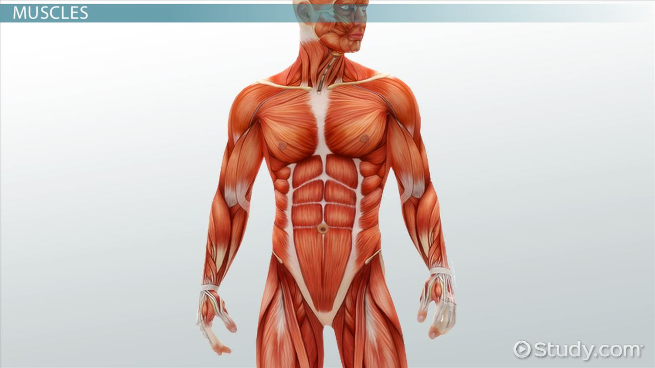 muscular system: injuries & disorders - video & lesson transcript, Muscles
