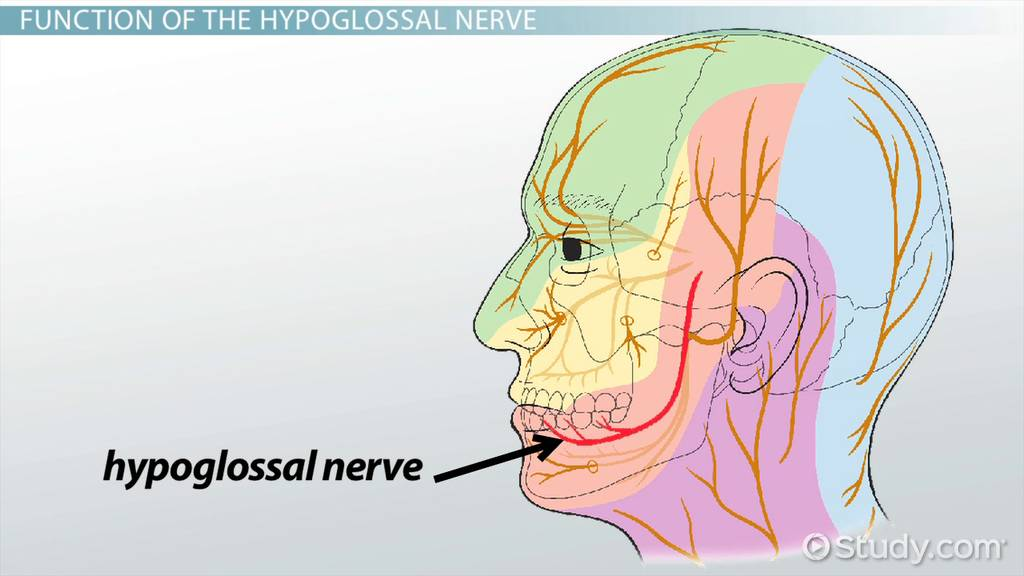 Hypoglossal Nerve: Function, Palsy & Damage - Video & Lesson ...