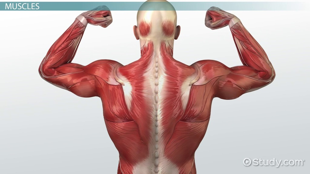 what is the muscular system? - function & how muscles work in,