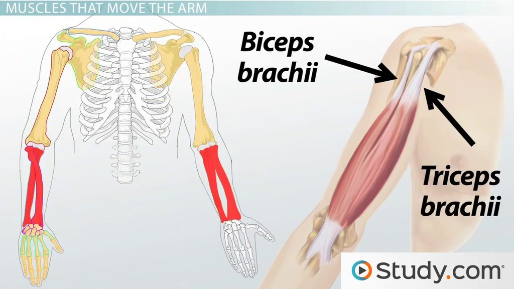 Forearm Muscles: Anatomy, Support & Movement - Video & Lesson ...