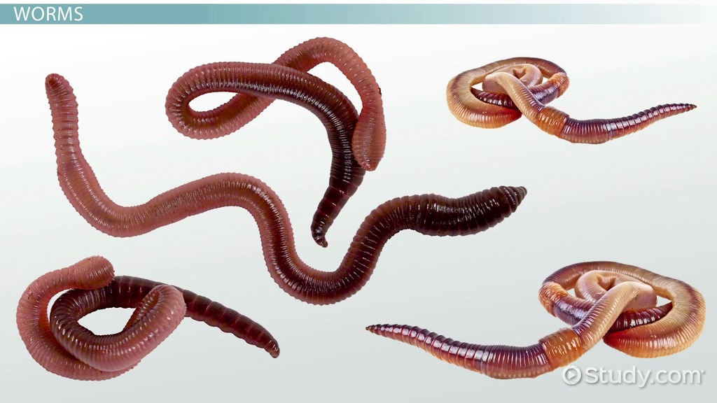 Worms Types Features Video Lesson Transcript Study