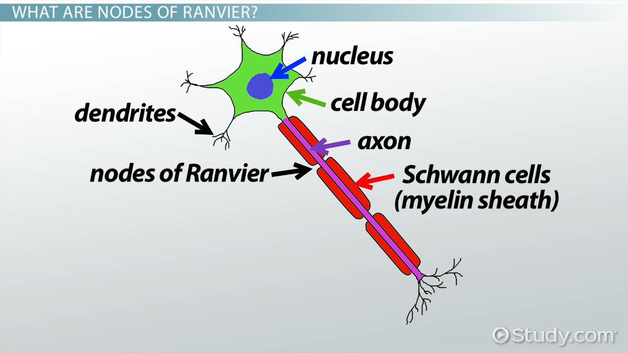 Nodes of Ranvier: Function and Definition - Video & Lesson Transcript ...