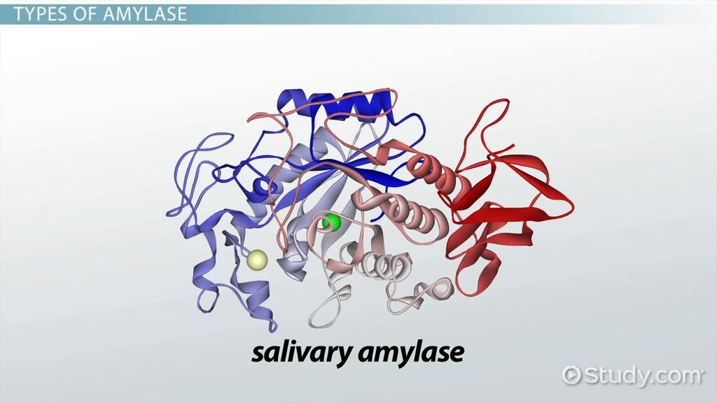 Salivary Amylase Structure Amp Chemistry Video Amp Lesson