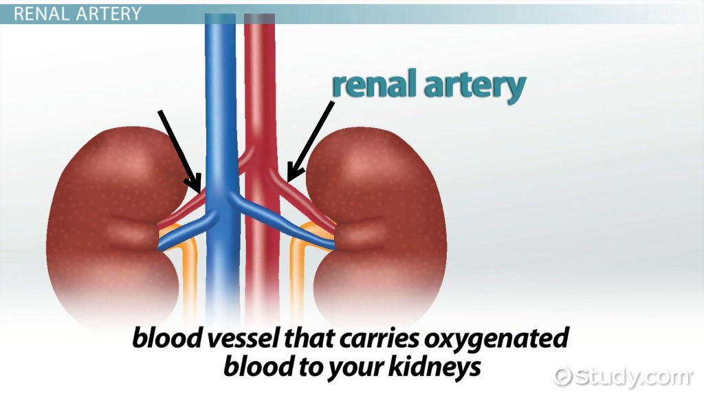 Renal Artery: Definition & Function - Video & Lesson Transcript ...