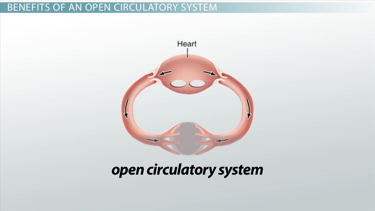 open circulatory systems definition examples video lesson  open circulatory systems definition examples video lesson transcript com