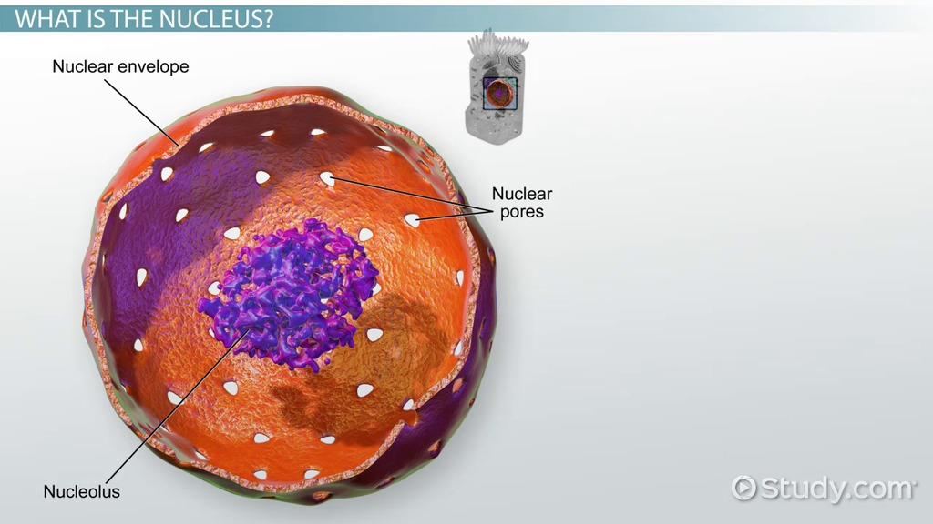 nucleus: definition & function - video & lesson transcript | study, Human Body
