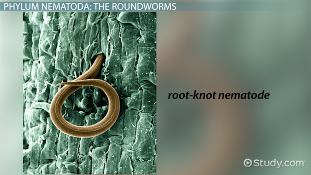 Phylum Nematoda Classes Characteristics Examples Video