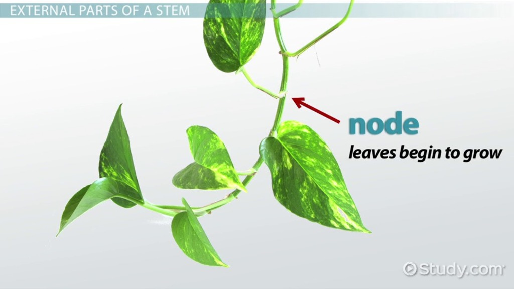 Plant Stem: Function, Types & Parts - Video & Lesson Transcript ...