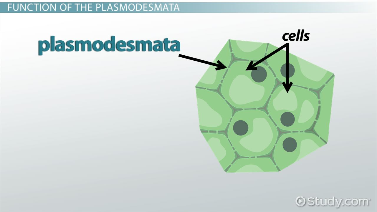 Plasmodesmata Definition Function Video Lesson Transcript