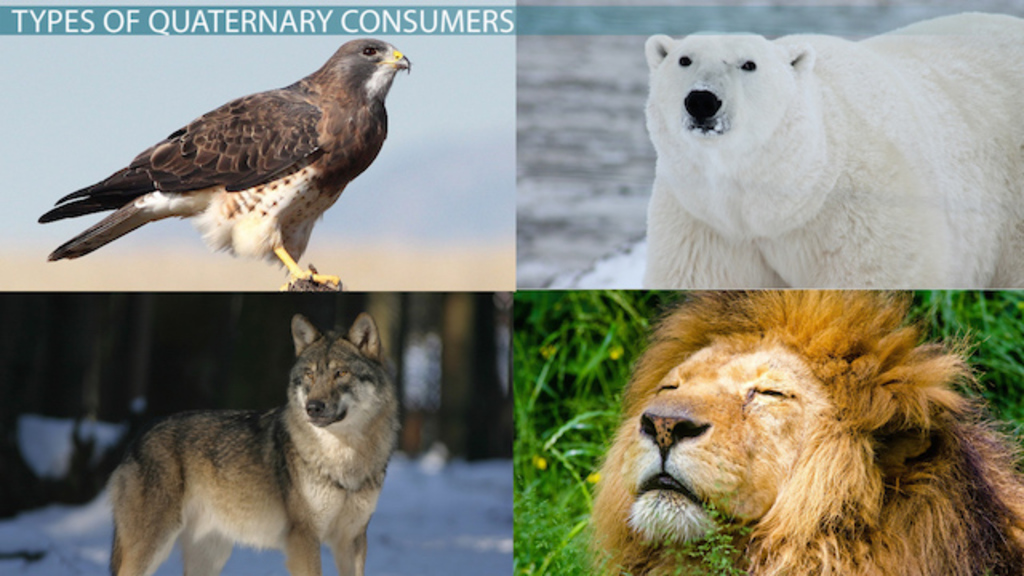 Quaternary Consumers Definition Types Video Lesson Transcript
