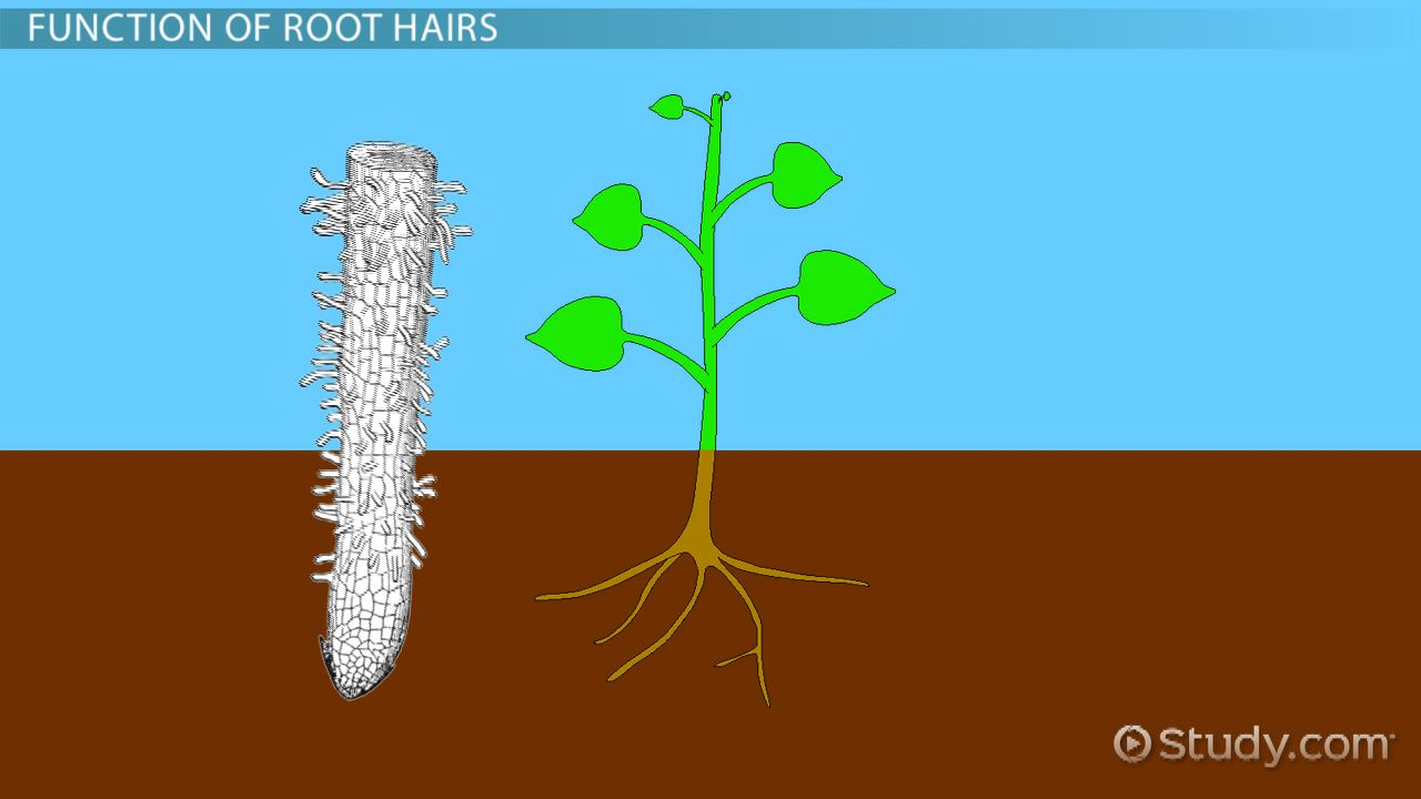 Root Hairs in Plants: Function & Definition - Video & Lesson ...