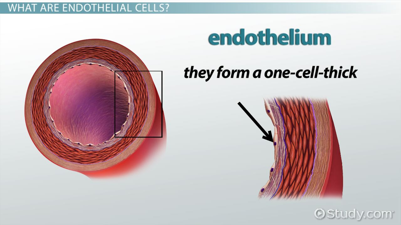 Endothelial Cells Function Amp Explanation Video Amp Lesson