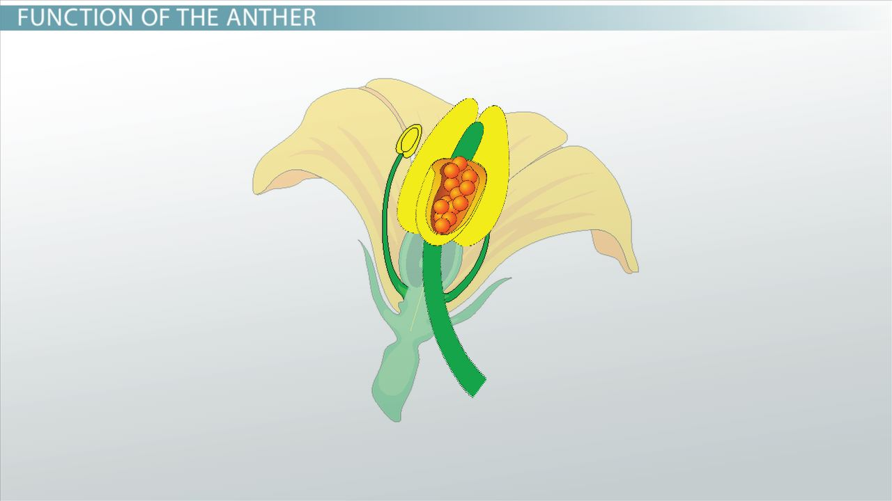 anther of a flower  function  u0026 definition