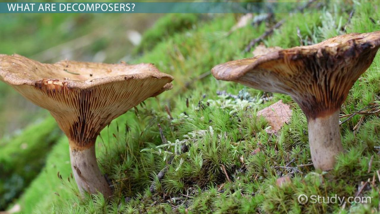 what is a decomposer  - definition  u0026 examples