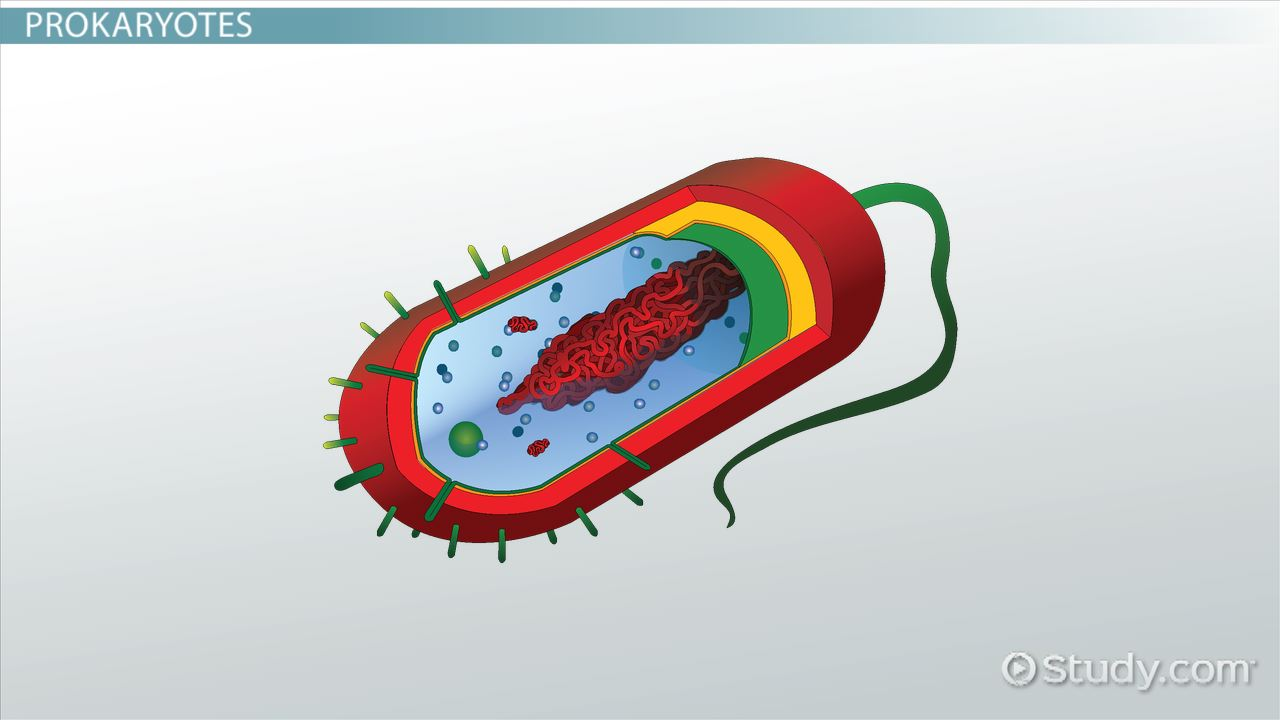 Prokaryotes & Eukaryotes: Definition & Examples - Video & Lesson Transcript  | Study.com
