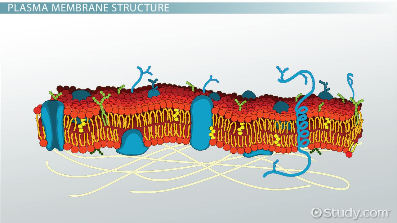 Plasma Membrane of a Cell: Definition, Function & Structure - Video ...
