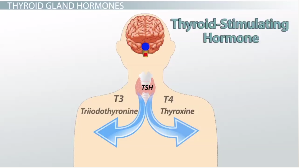 Thyroid stimulant