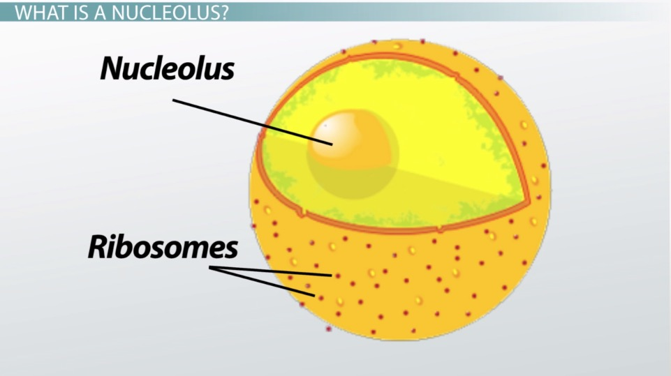 What is a Nucleolus? - Definition & Function - Video & Lesson ...