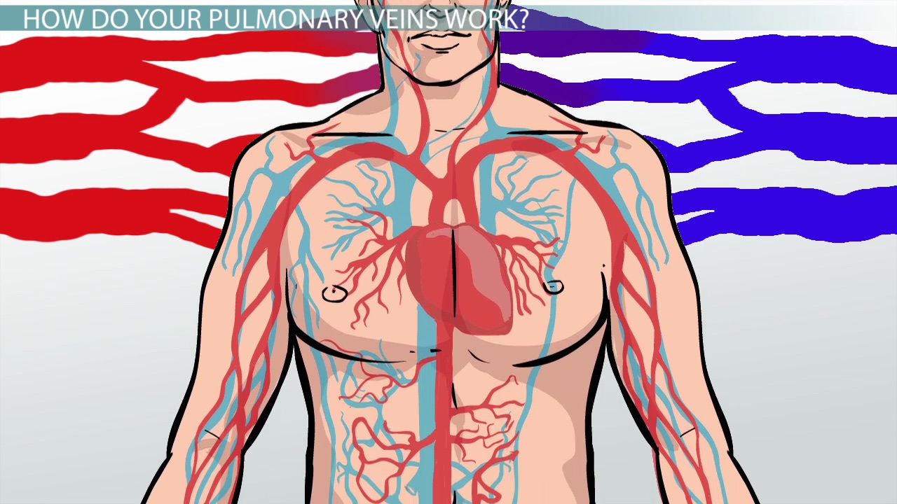 Pulmonary Veins: Function, Definition & Anatomy - Video & Lesson ...
