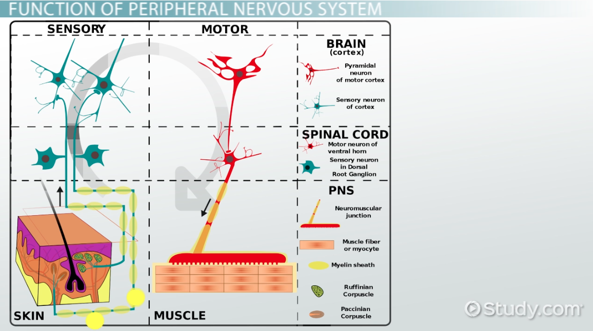 Peripheral Nervous System Definition Function Amp Parts