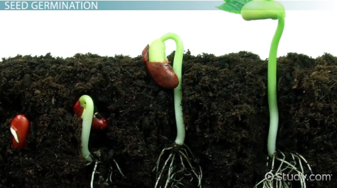 What is Seed Germination? - Definition, Process, Steps & Factors ...