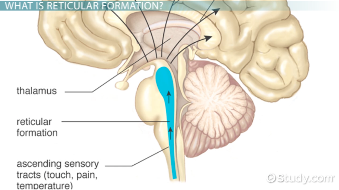 Reticular Formation: Definition & Functions - Video & Lesson ...