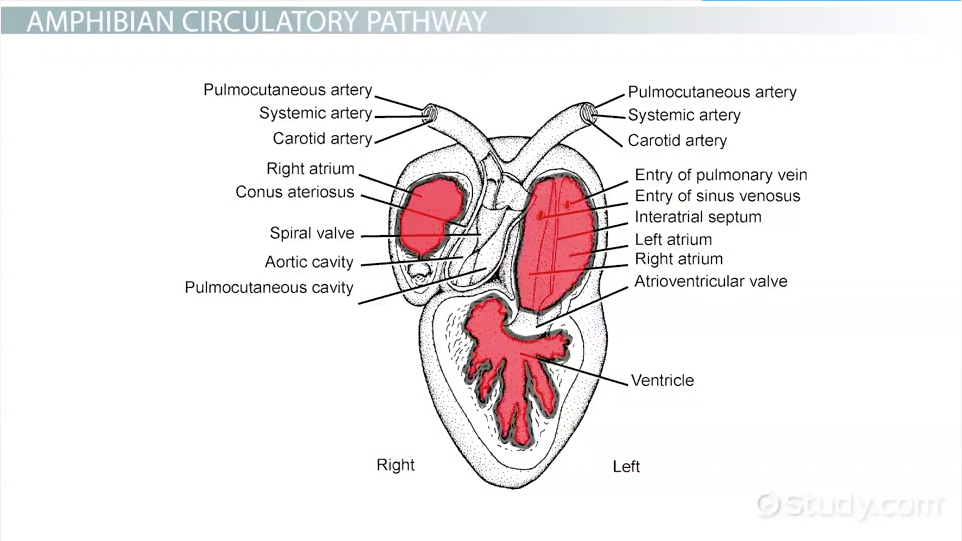 Amphibians Circulatory System Video Lesson Transcript – Circulatory System Diagram Worksheet