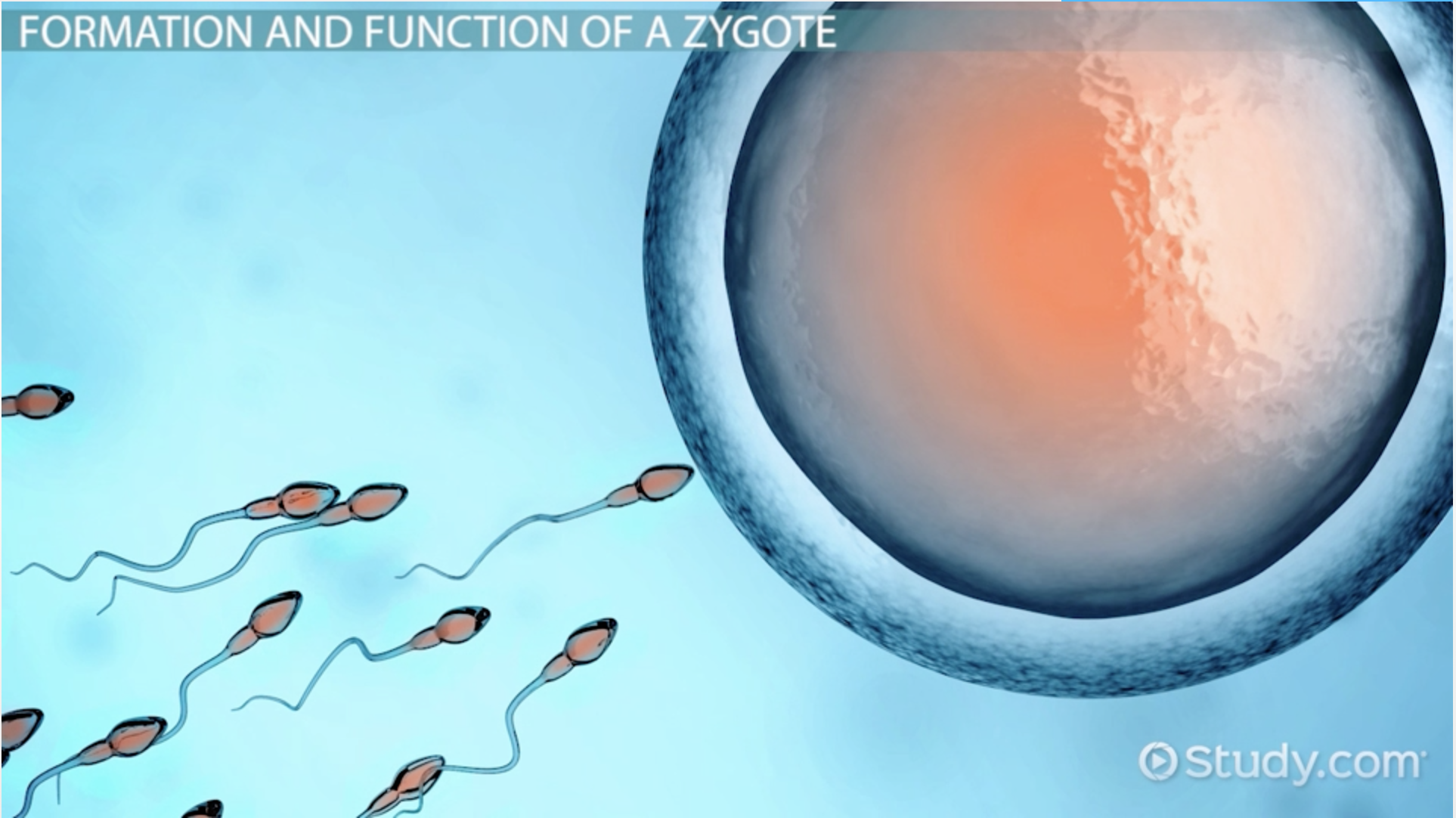 Zygote: Definition & Explanation - Video & Lesson Transcript | Study ...