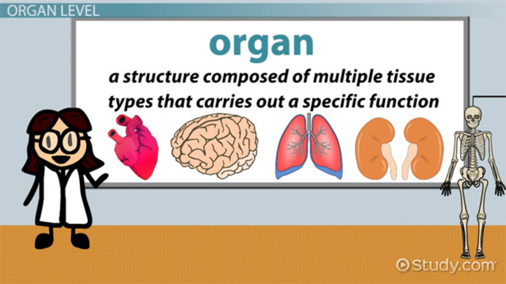 Levels of Structural Organization in the Human Body - Video & Lesson ...