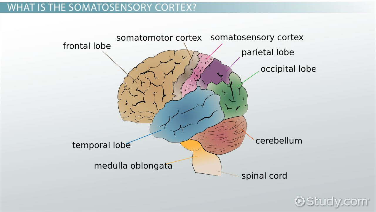 Somatosensory Cortex: Definition, Location & Function - Video & Lesson ...