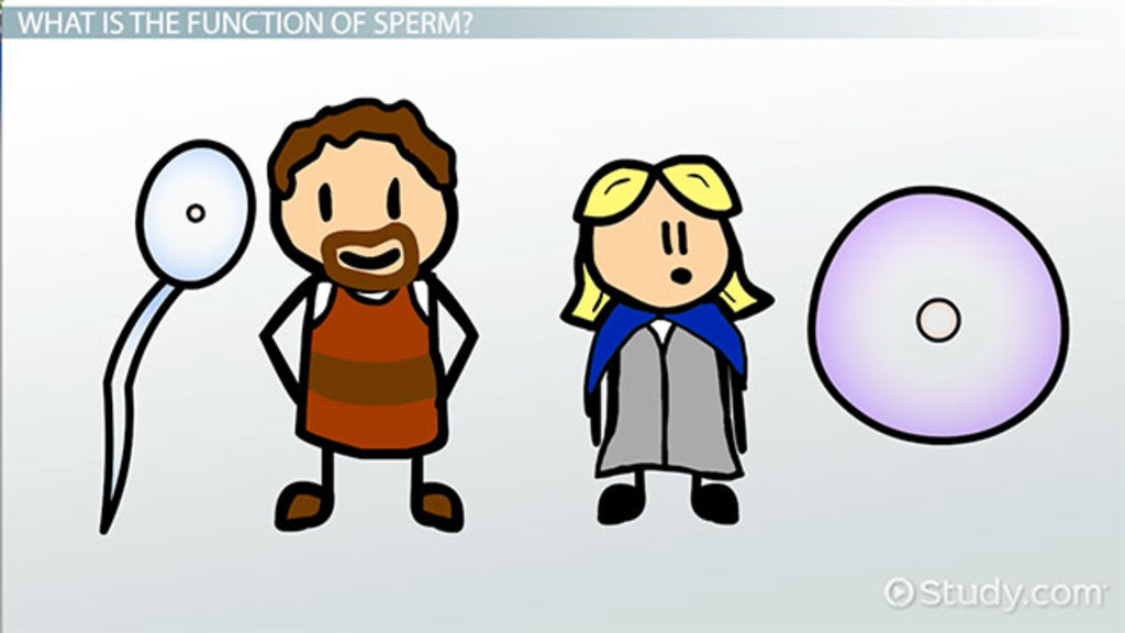 Sperm Cell: Definition & Function - Video & Lesson Transcript ...