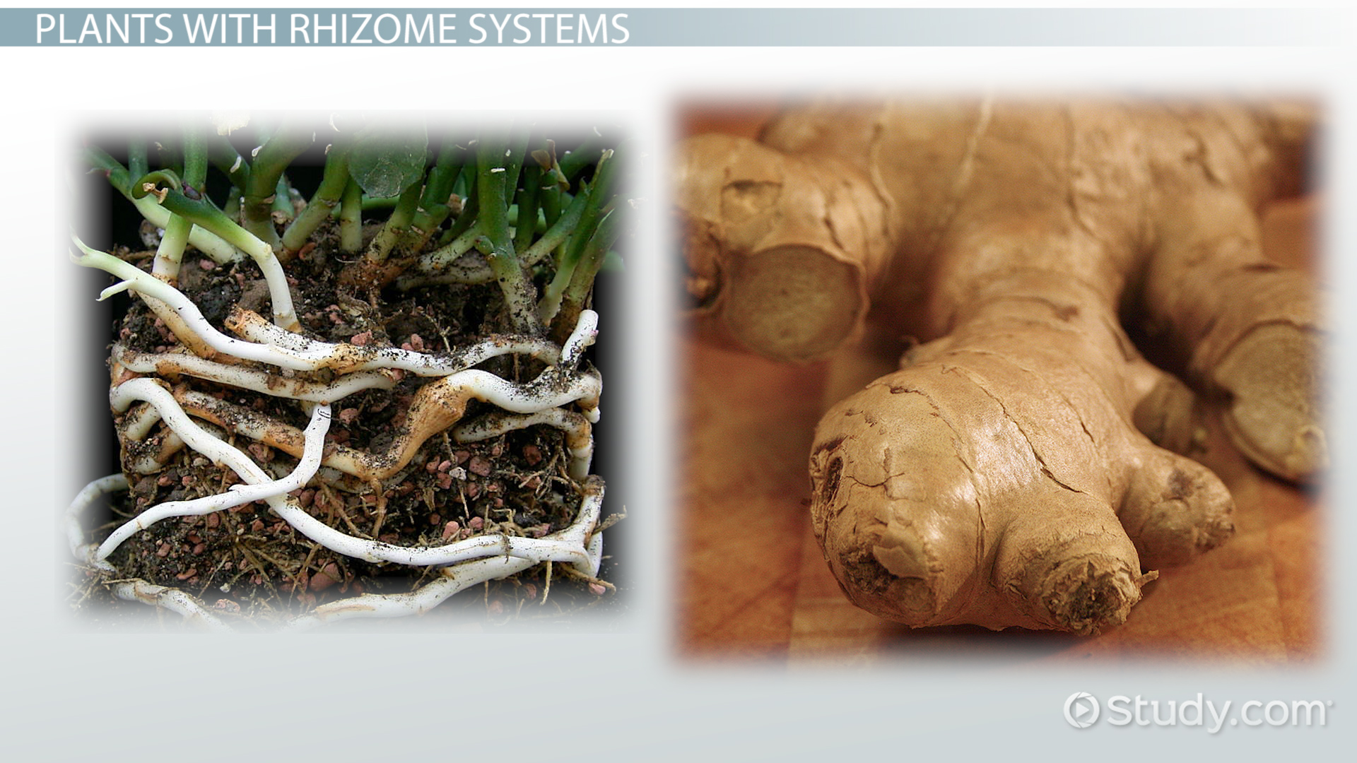 rhizomes  definition  u0026 examples