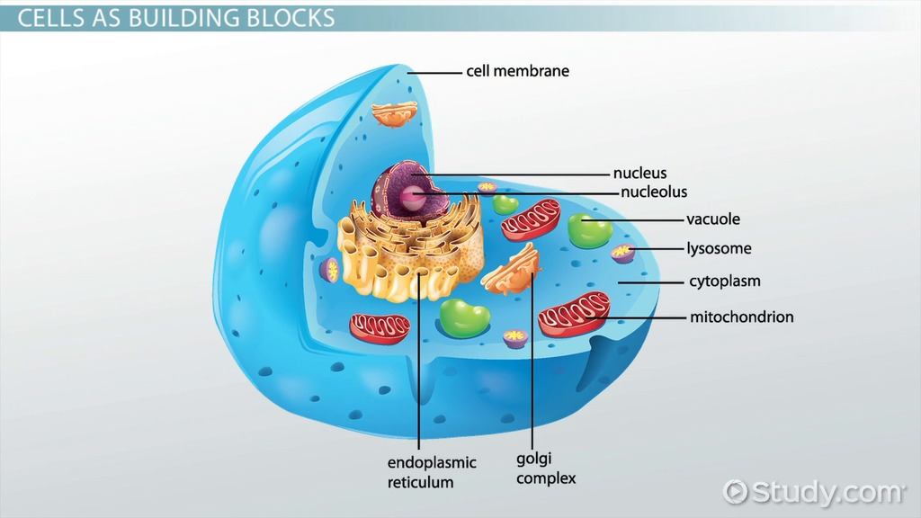 the role of the nucleus in the cell - video & lesson transcript, Human Body