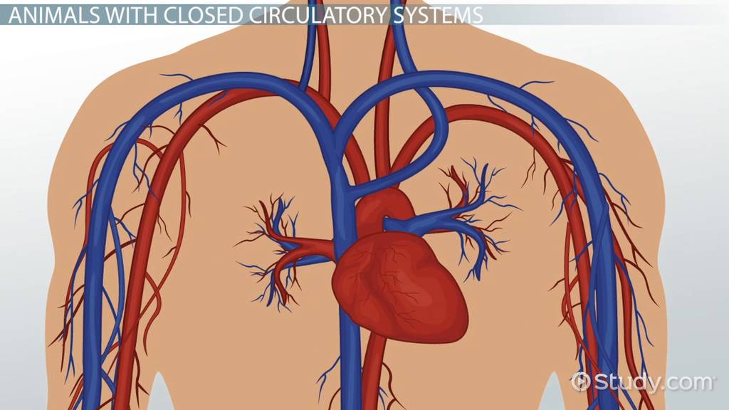 animals with closed circulatory systems video amp lesson