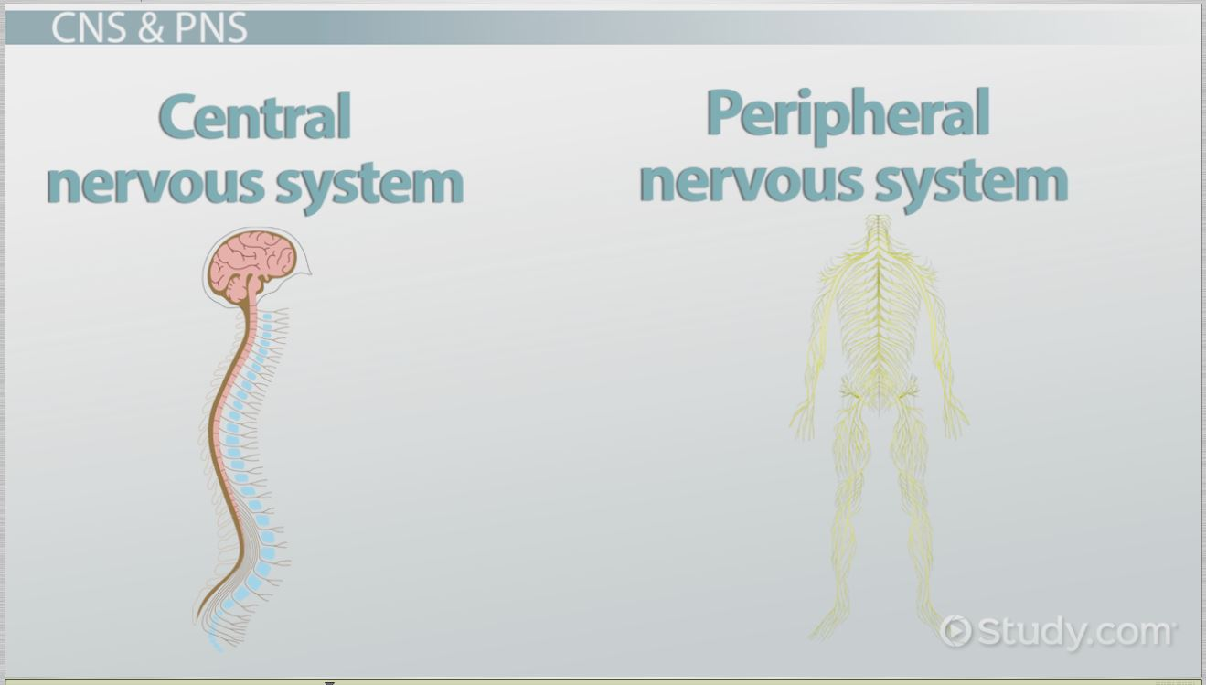 The Human Nervous System: Parts & Functions - Video & Lesson ...
