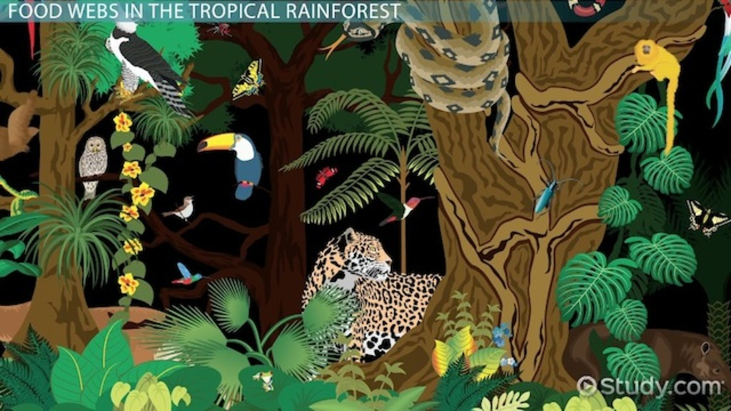 The Tropical Rainforest Food Web Video Amp Lesson