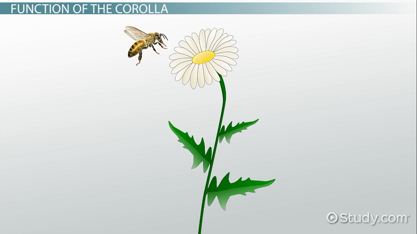 Corolla of a Flower: Structure, Function & Definition - Video ...