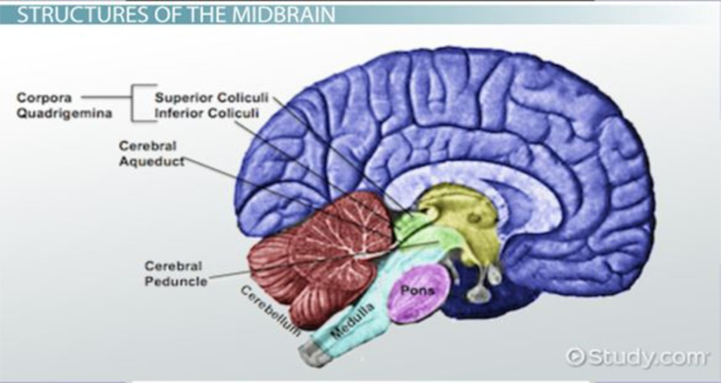 Midbrain: Definition, Function & Structures - Video & Lesson ...