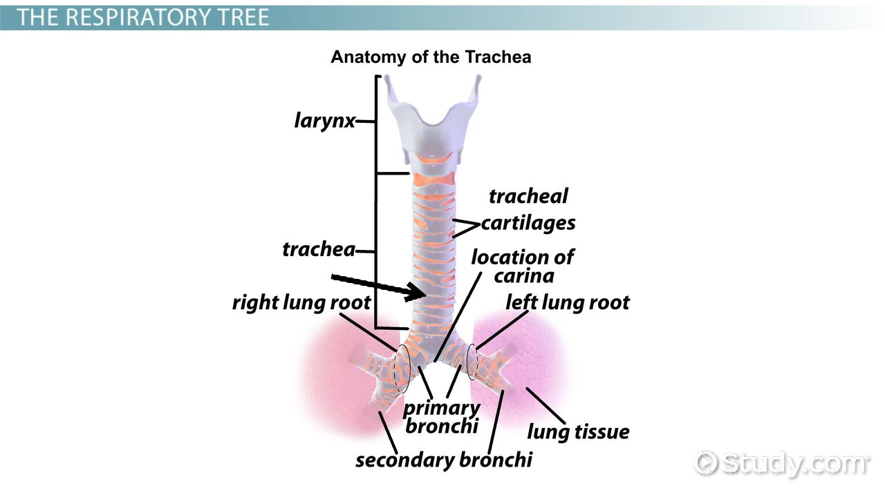 Trachea: Function, Meaning & System - Video & Lesson Transcript ...