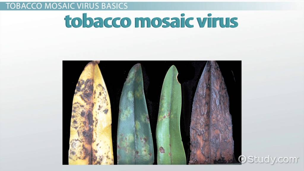 tobacco mosaic virus  structure and function