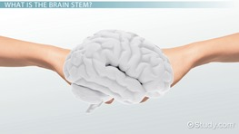 Brain Stem: Function, Anatomy & Definition