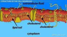 How Does the Cell Membrane Maintain Homeostasis?