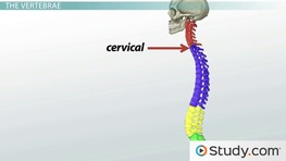 Bones of the Vertebral Column and Ribs: Definition and Function