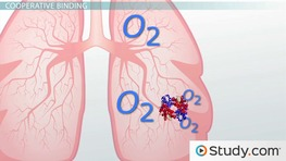 Gas Transport: Cooperative Binding of Oxygen with Hemoglobin